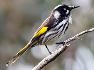 - New Holland Honeyeater