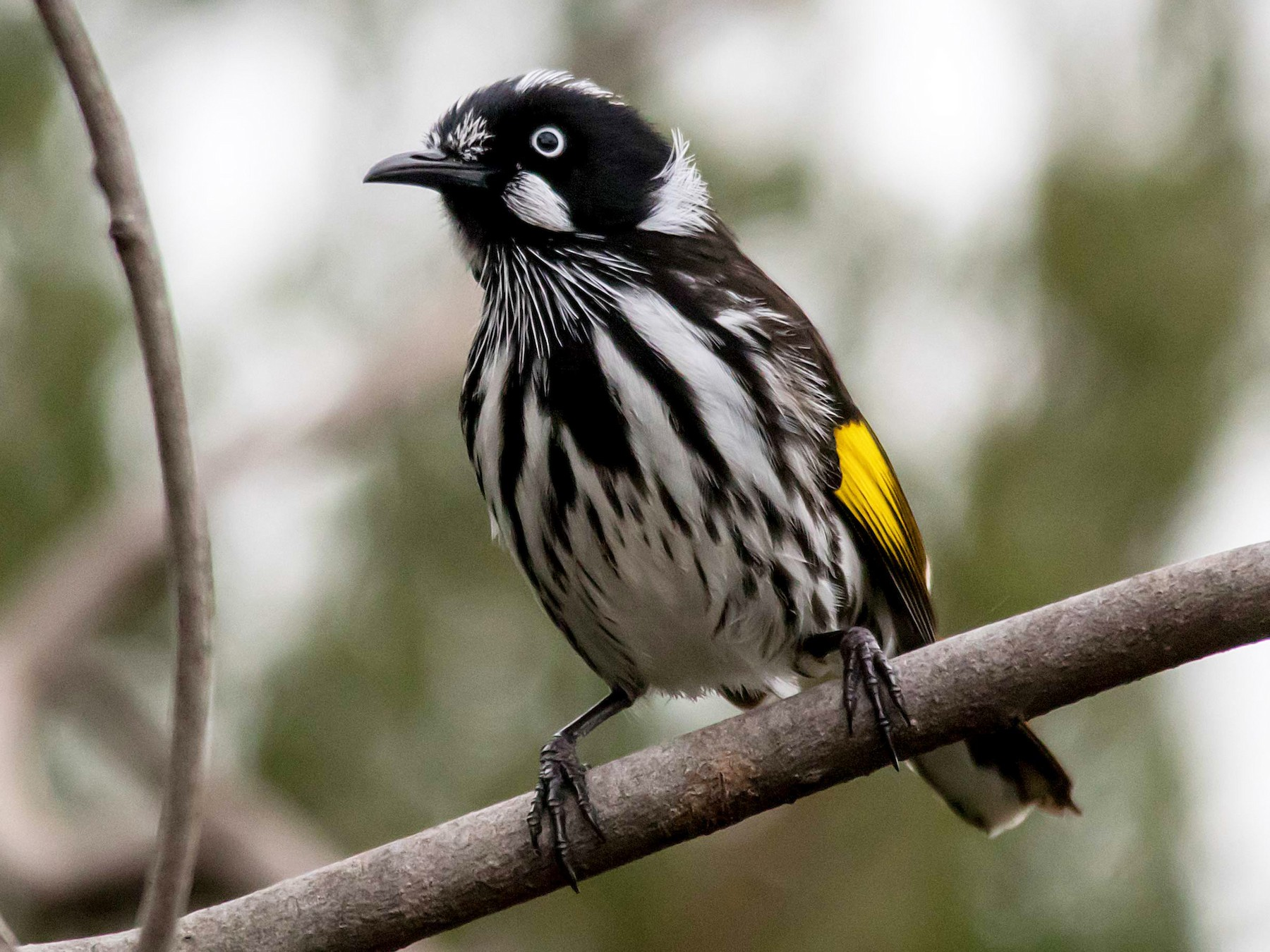 New Holland Honeyeater - Andrew Allen