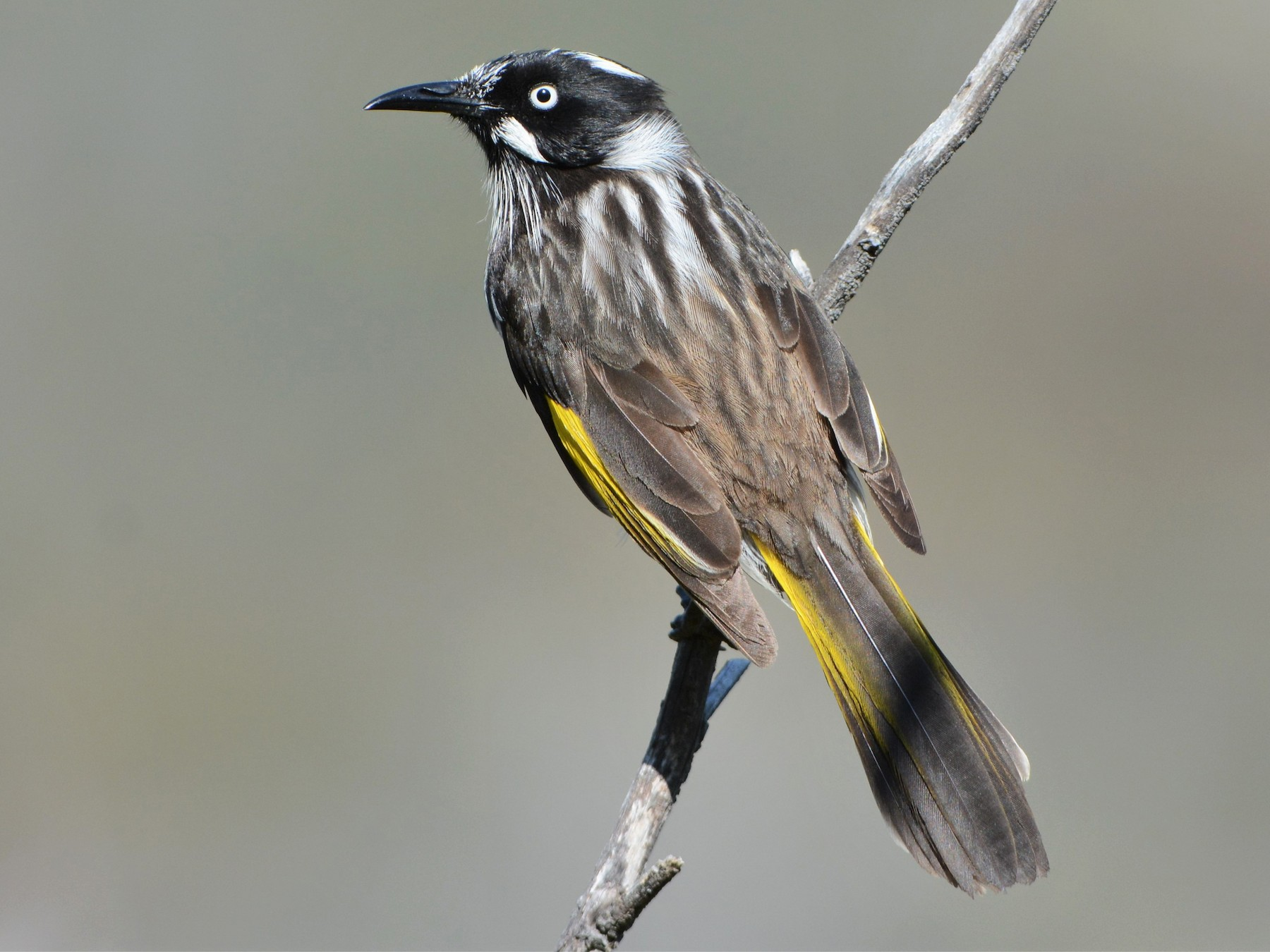 New Holland Honeyeater - David Hollie