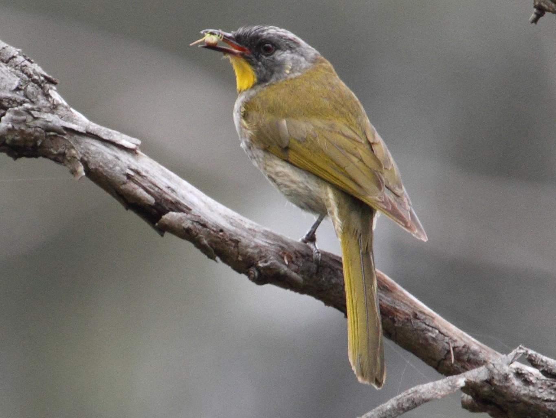 Yellow-throated Honeyeater - Ric Else