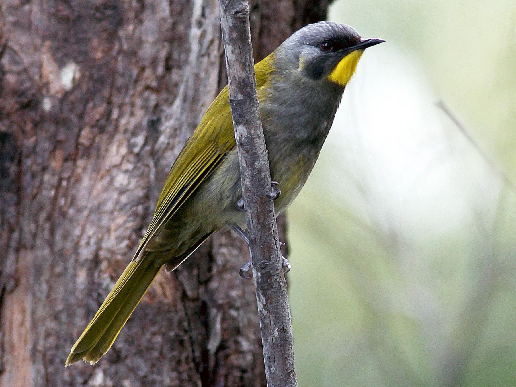 Yellow-throated Honeyeater - Alan Melville