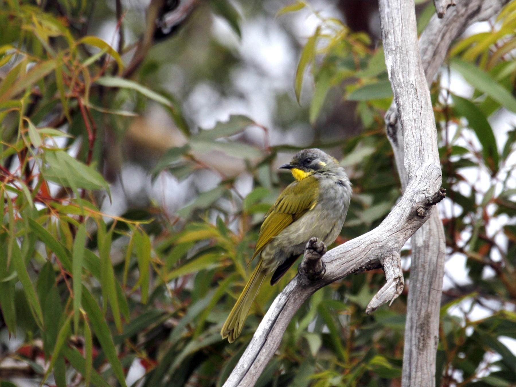 Yellow-throated Honeyeater - Paul Brooks