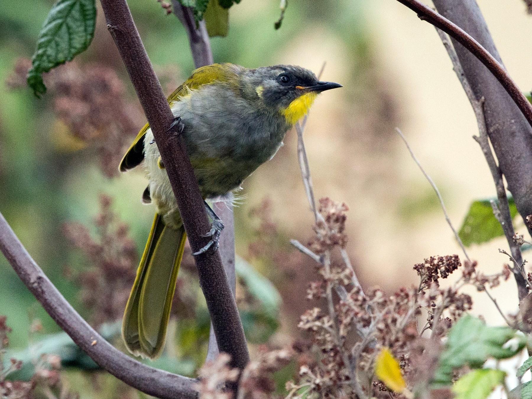 Yellow-throated Honeyeater - David Irving