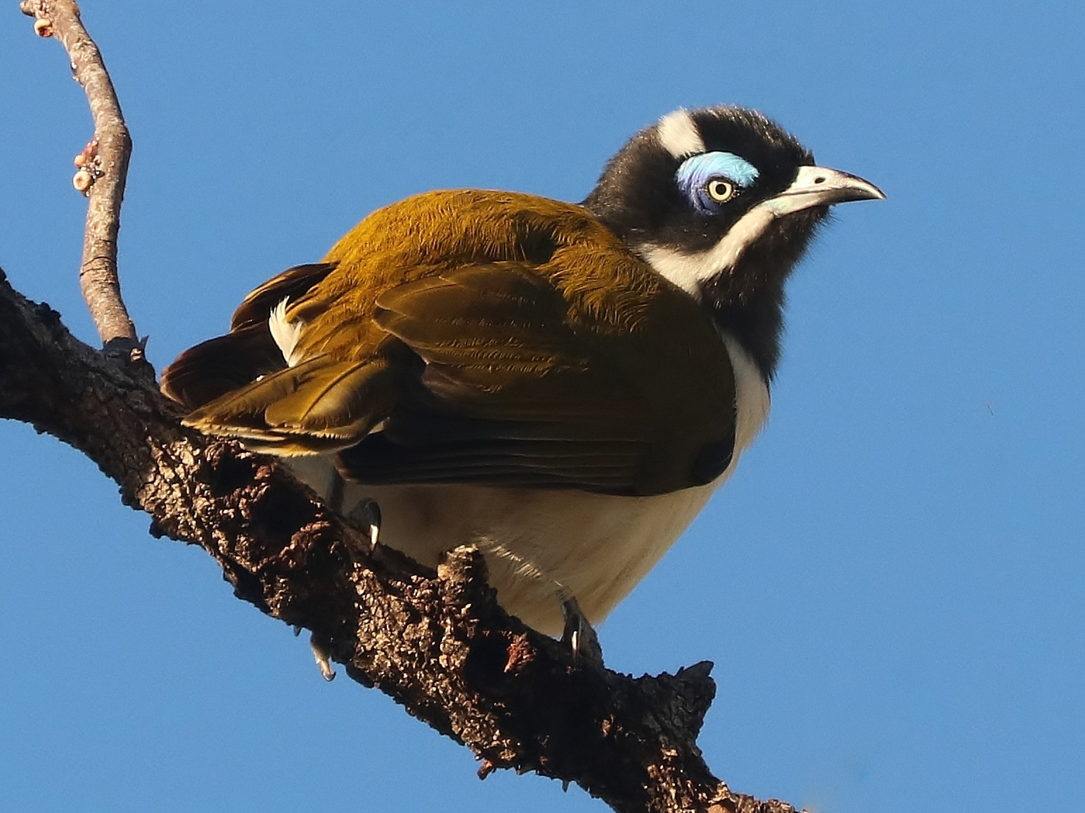 Blue-faced Honeyeater - Rick Franks