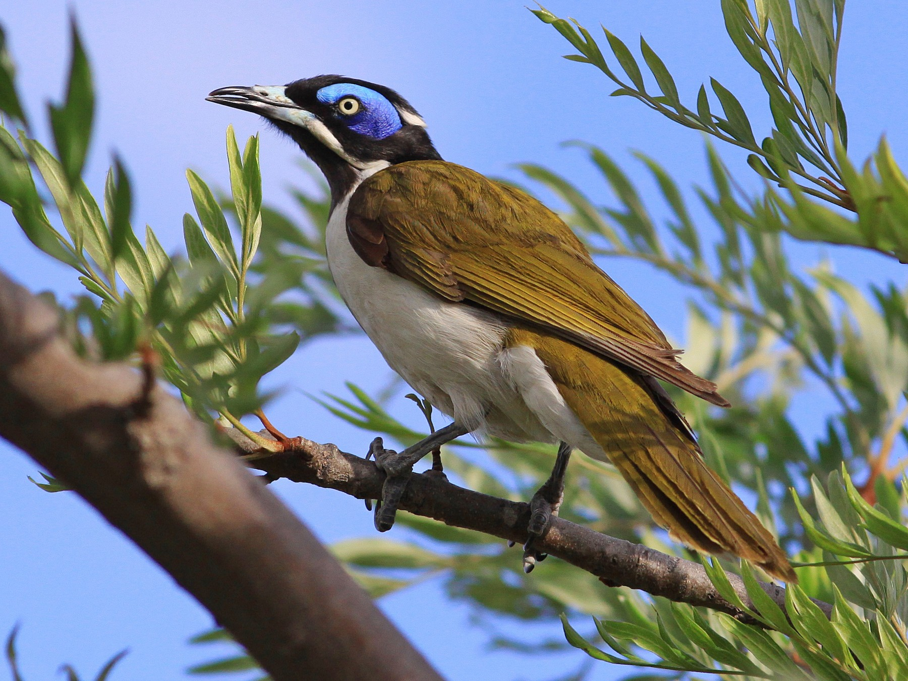 Blue-faced Honeyeater - Rufus Wareham