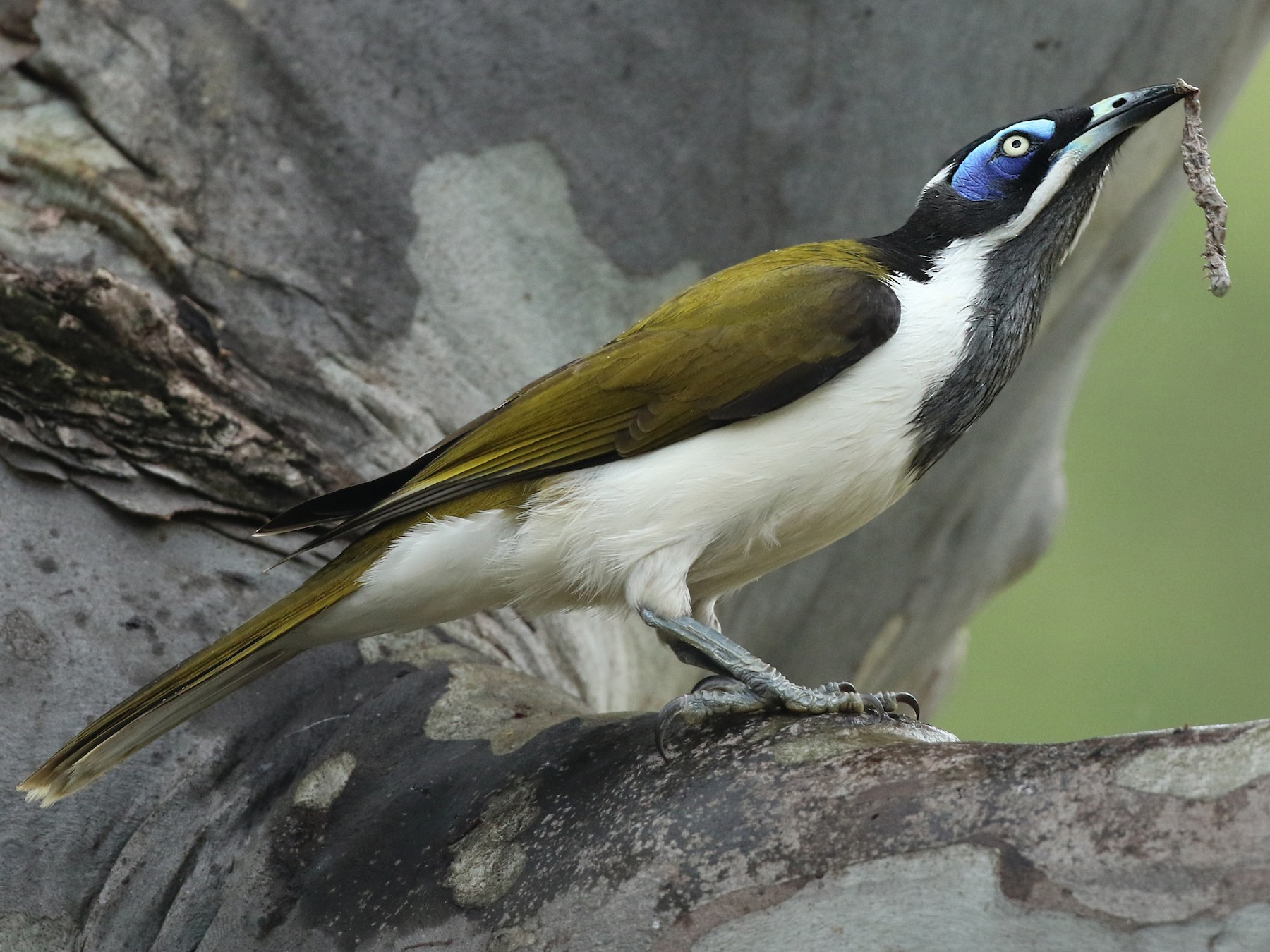 Blue-faced Honeyeater - Luke Seitz