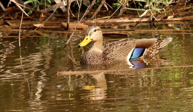 ©Jose Antonio Robles Martinez - Mexican Duck