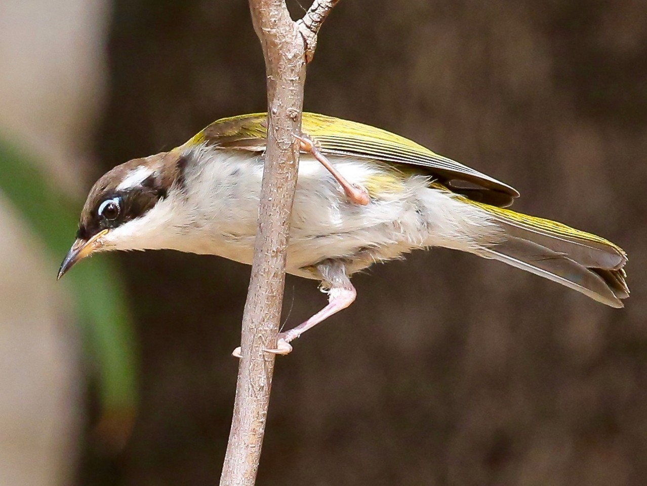 White-throated Honeyeater - Vanessa Mylett