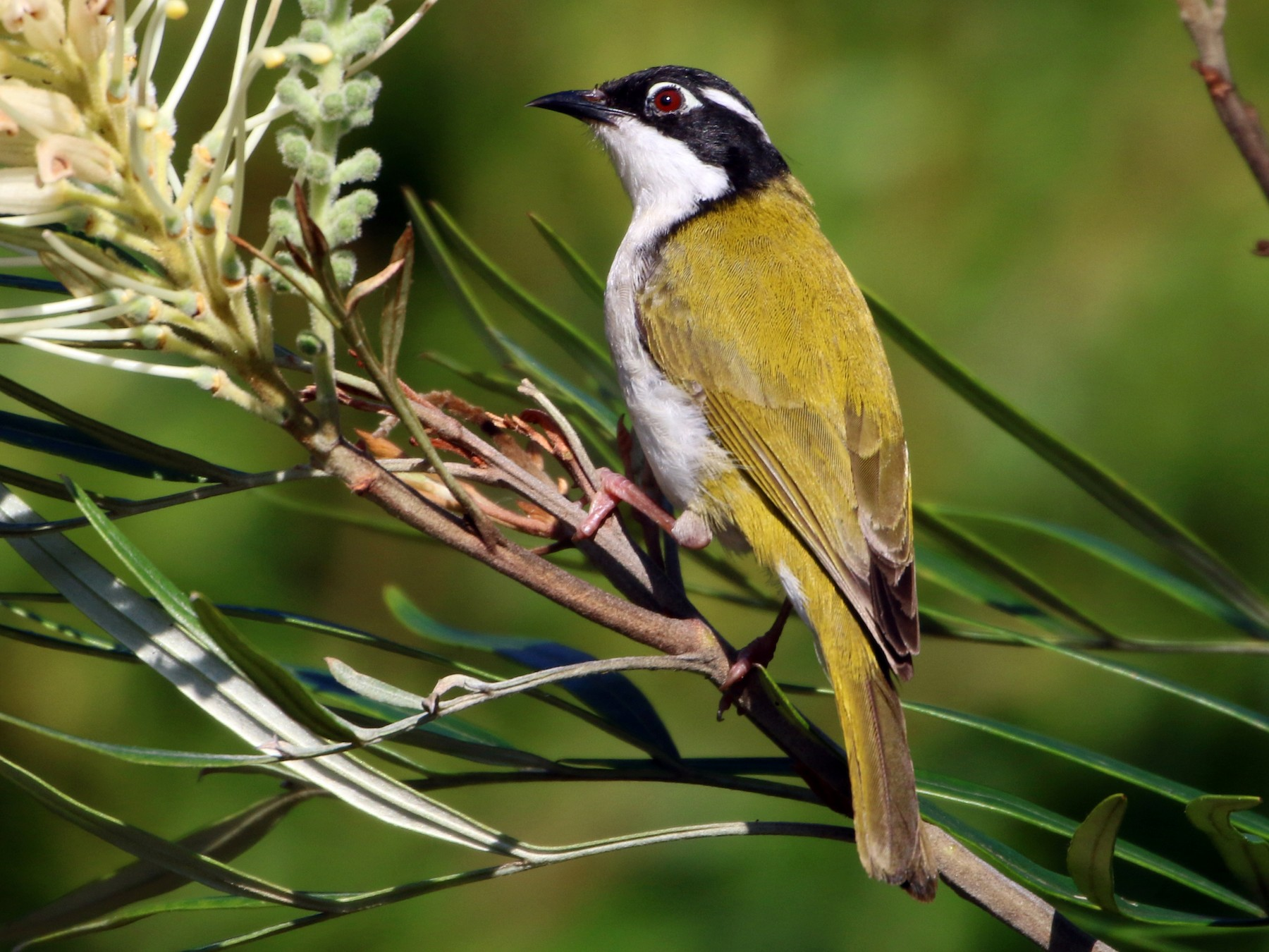White-throated Honeyeater - Julie Sarna