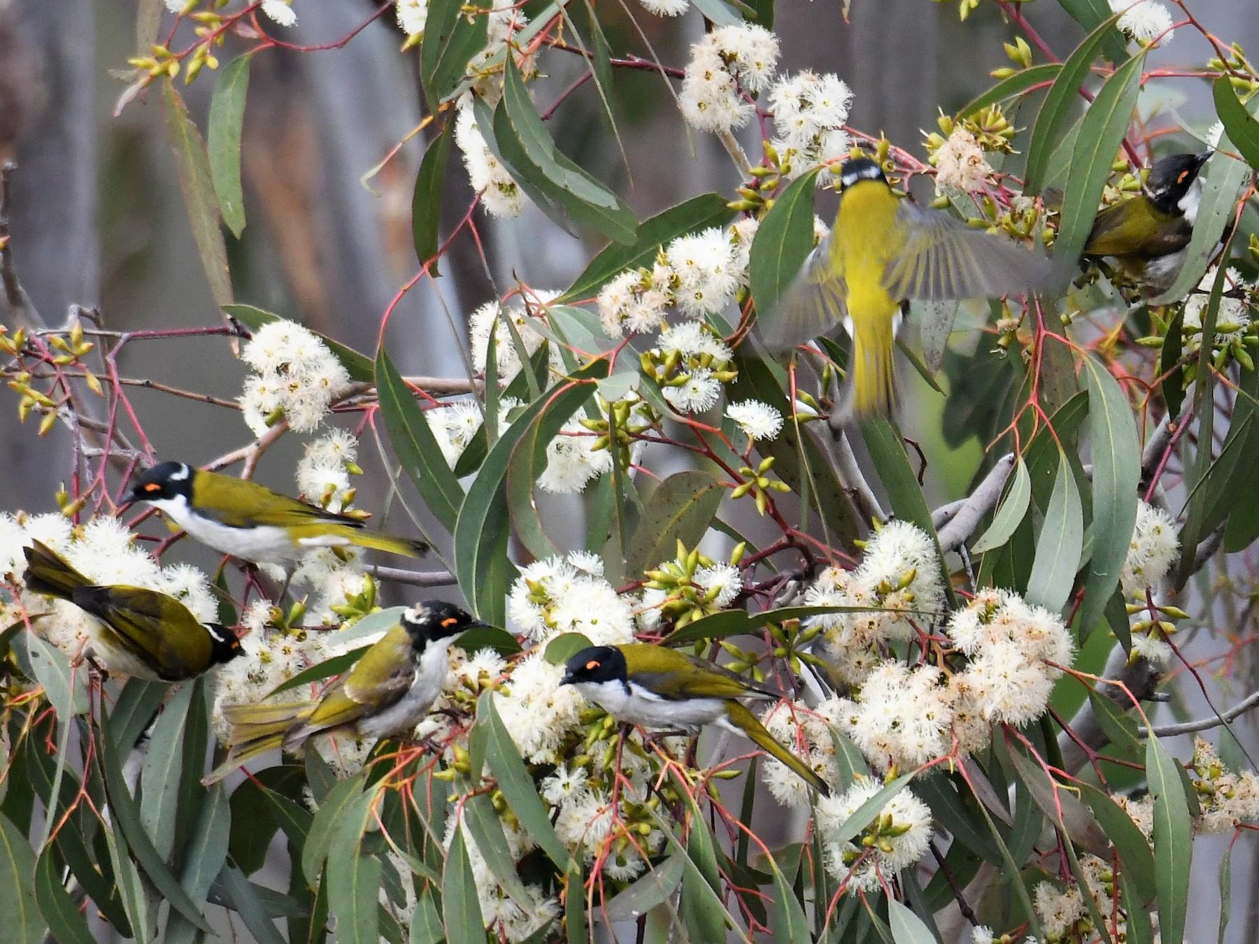 White-naped Honeyeater - Chris Munson