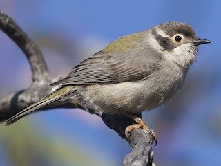 - Brown-headed Honeyeater