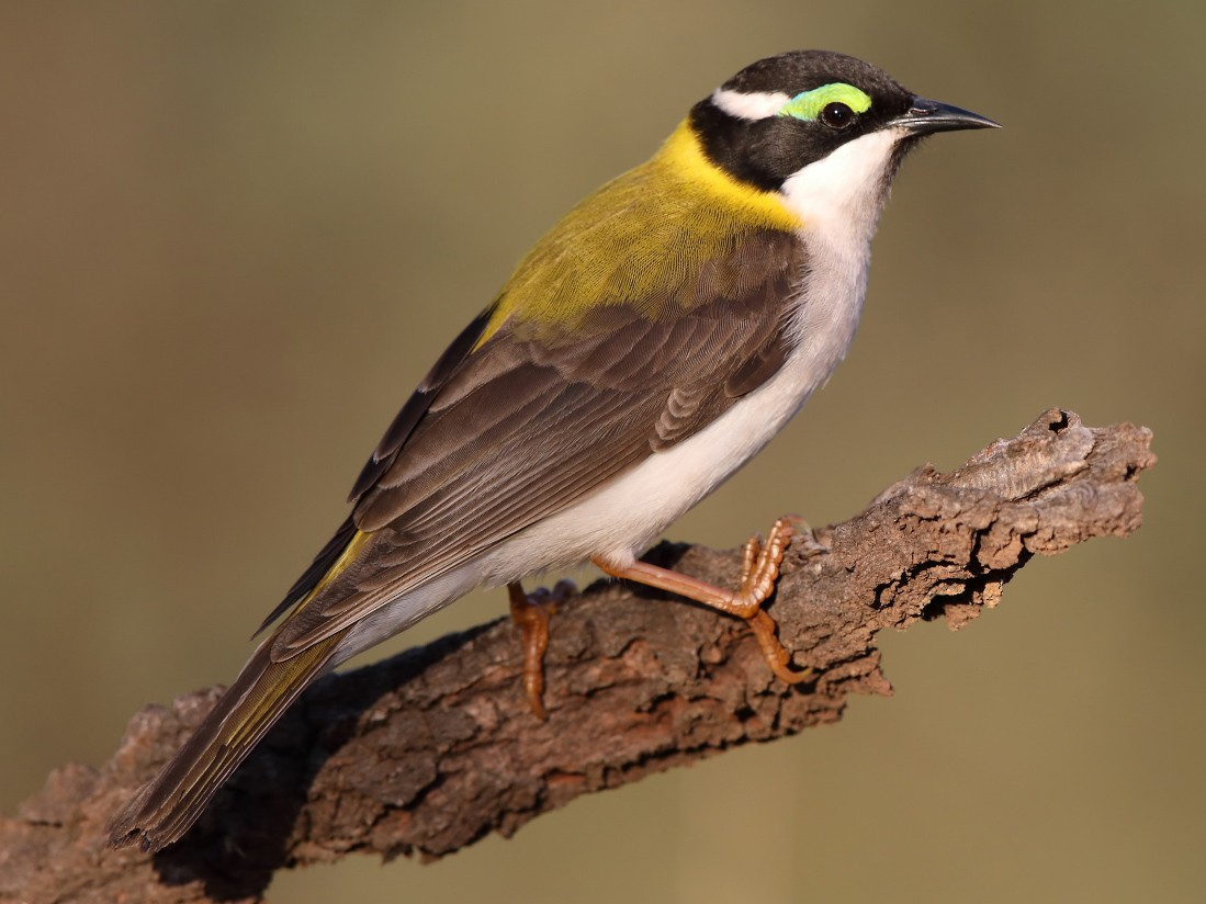 Black-chinned Honeyeater - Marc Gardner
