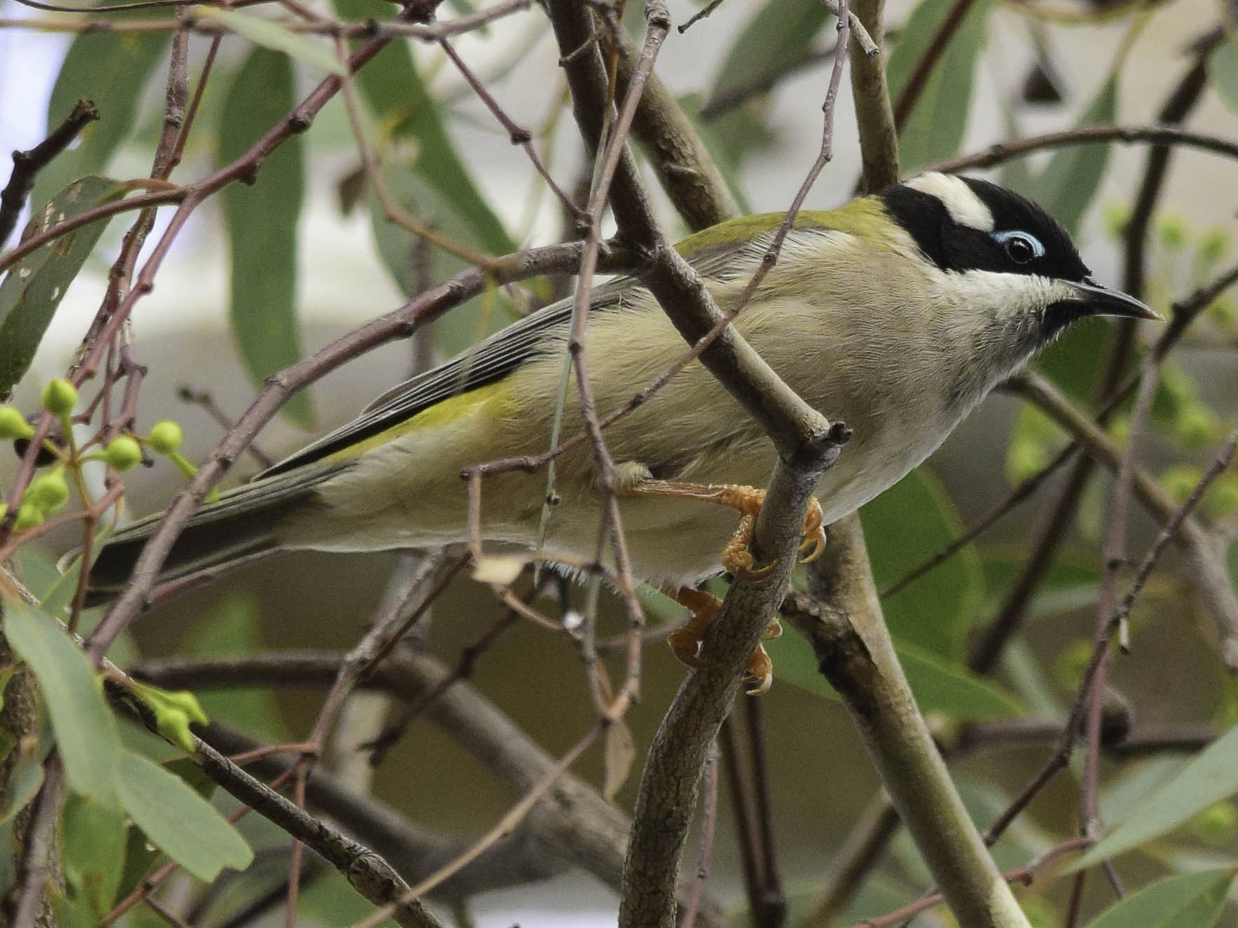 Black-chinned Honeyeater - Adam Fry