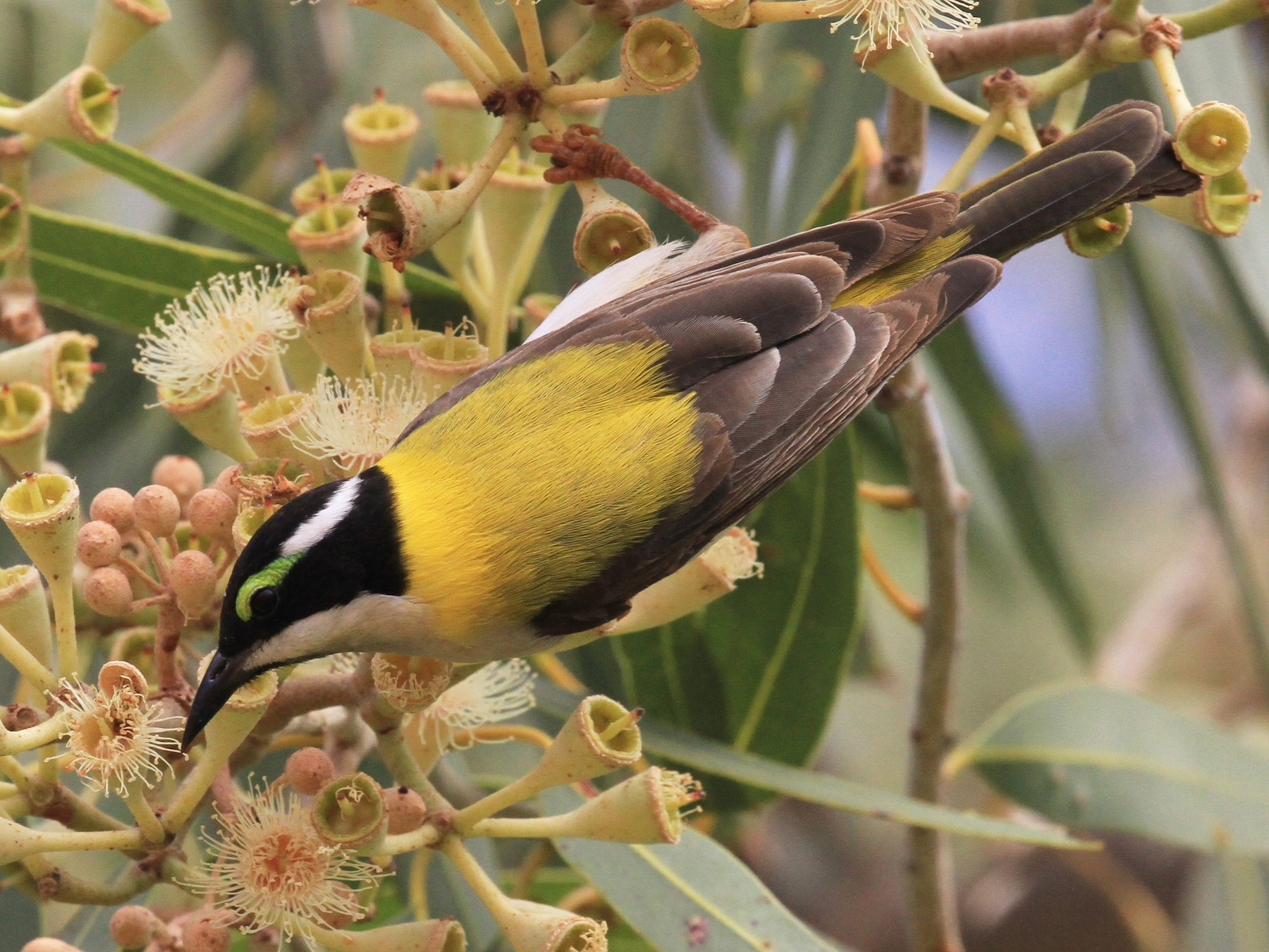 Black-chinned Honeyeater - Peter Sawyer