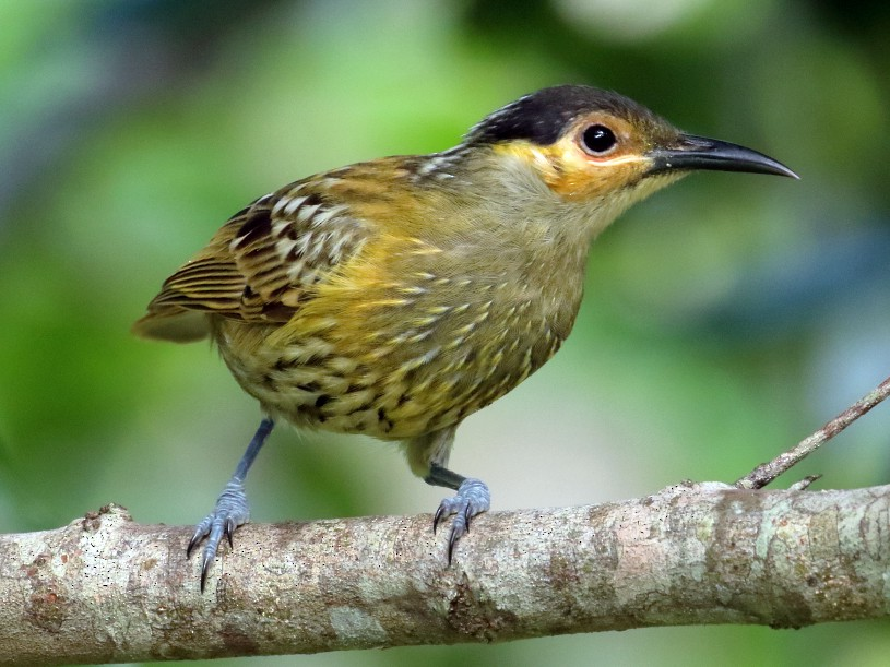 Macleay's Honeyeater - Keith & Lindsay Fisher