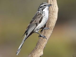 - Striped Honeyeater