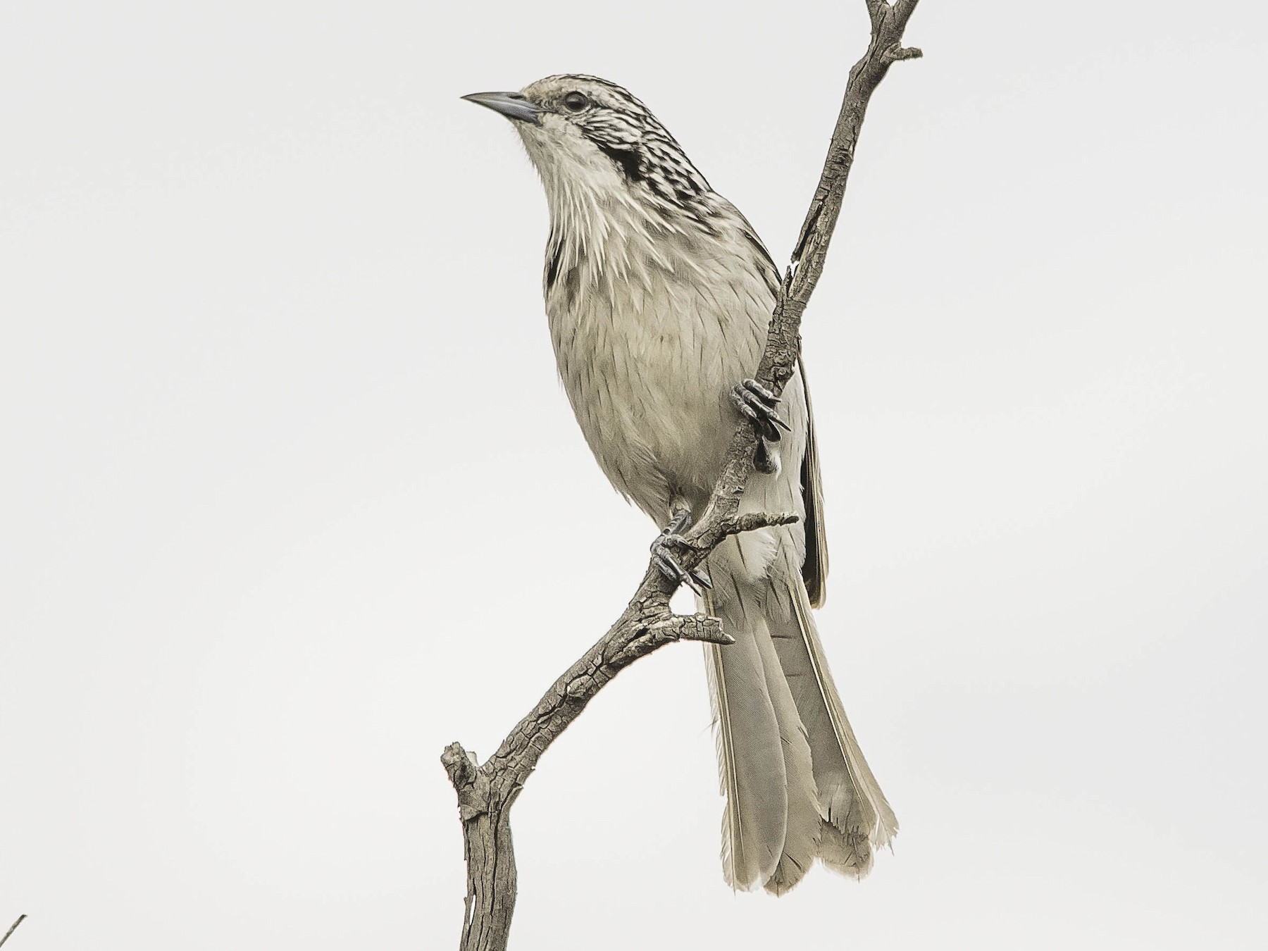 Striped Honeyeater - Adam Fry