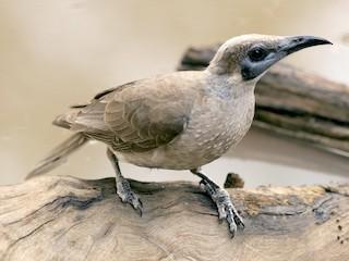 - Little Friarbird