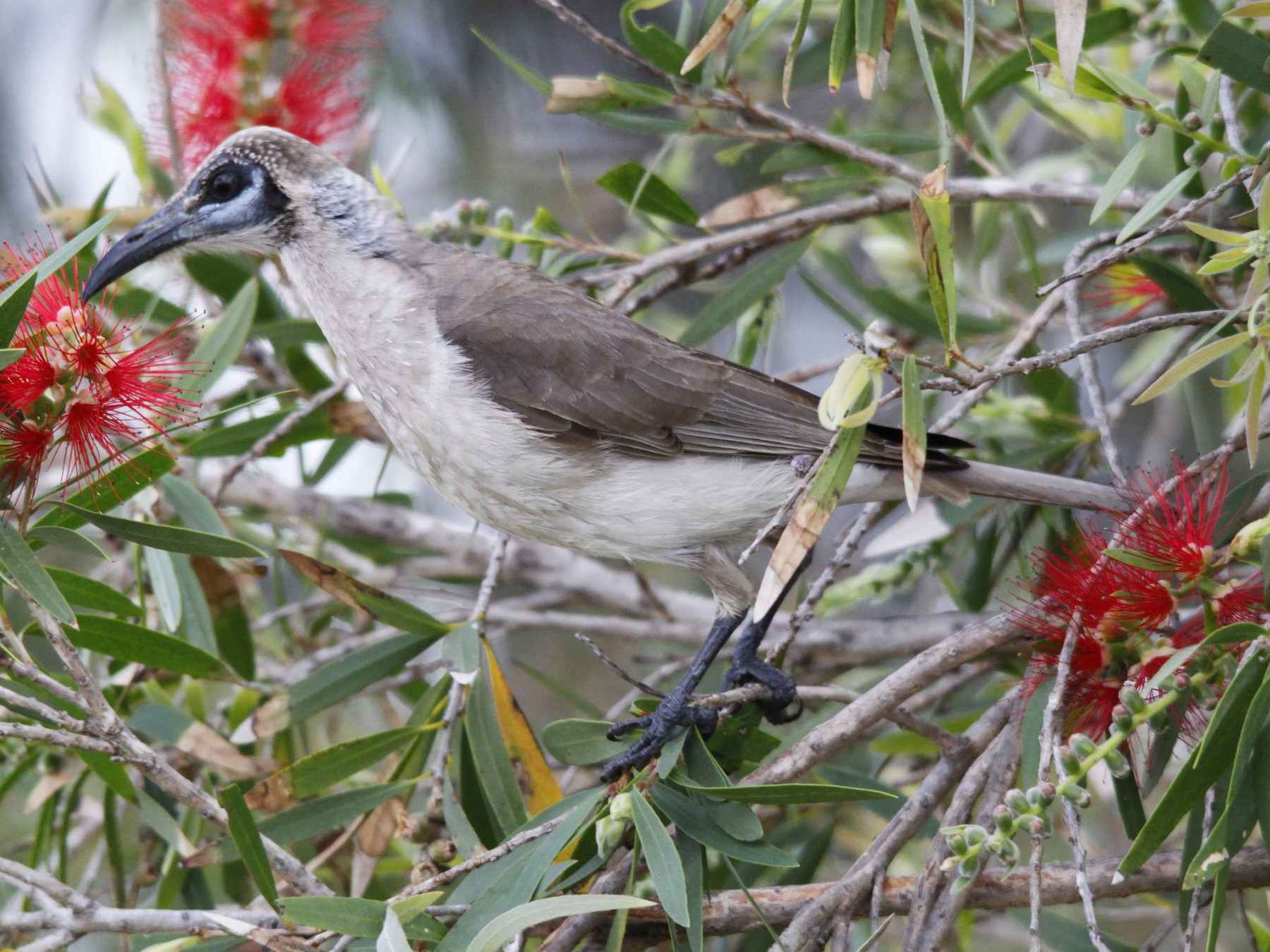 Little Friarbird - Alan Atkinson