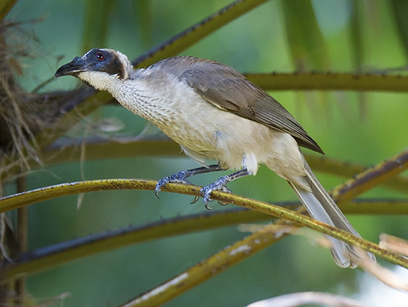 Helmeted Friarbird - Stephen Murray