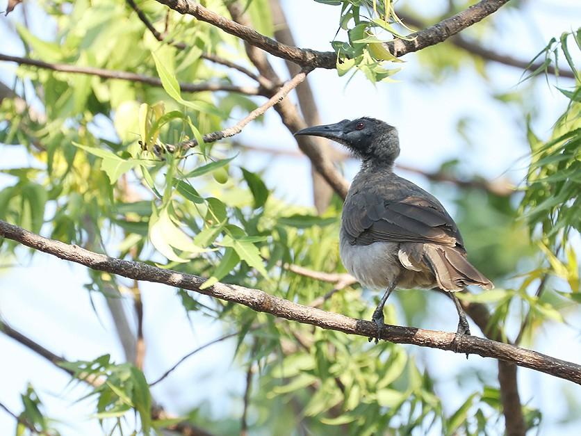 Helmeted Friarbird - Tony Palliser
