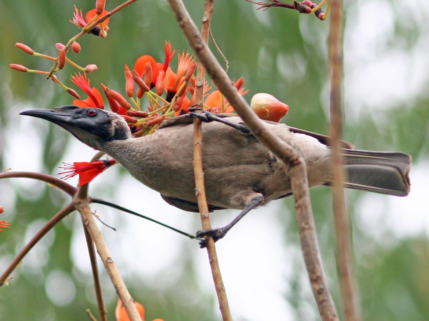 Helmeted Friarbird - David Disher