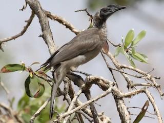 - Helmeted Friarbird
