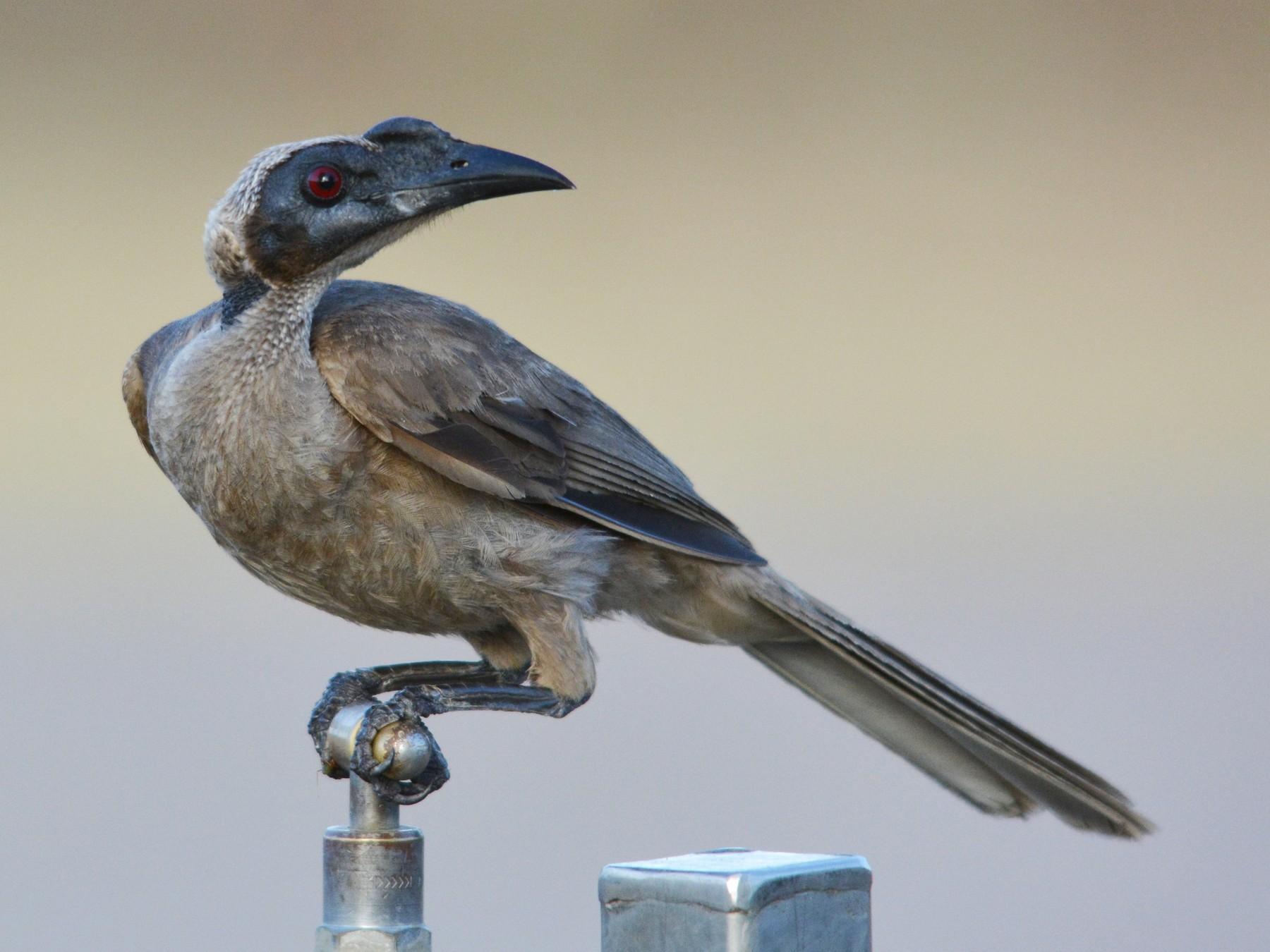 Helmeted Friarbird - John Lowry