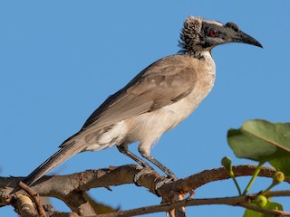 - Silver-crowned Friarbird