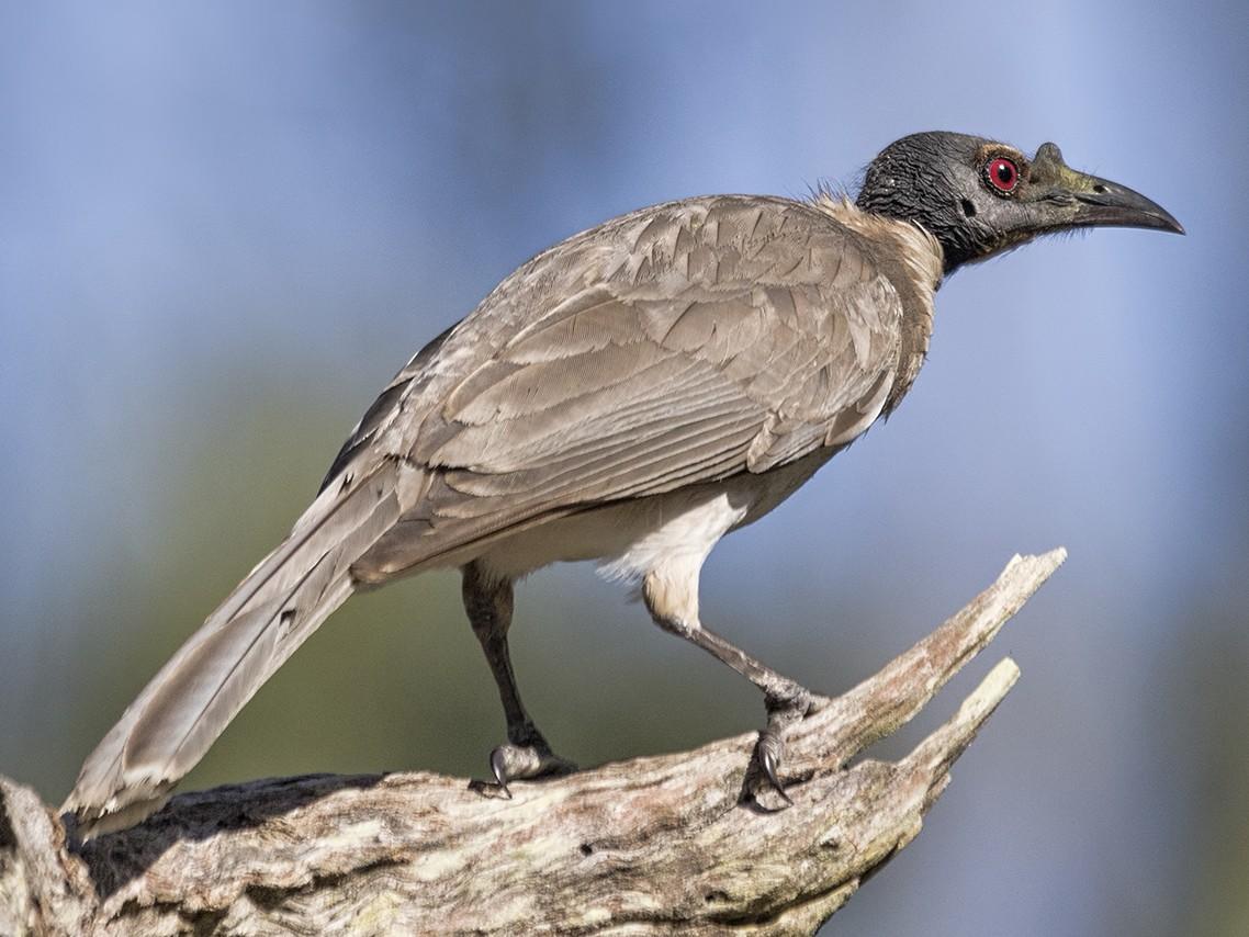Noisy Friarbird - Jill Duncan &  Ken Bissett