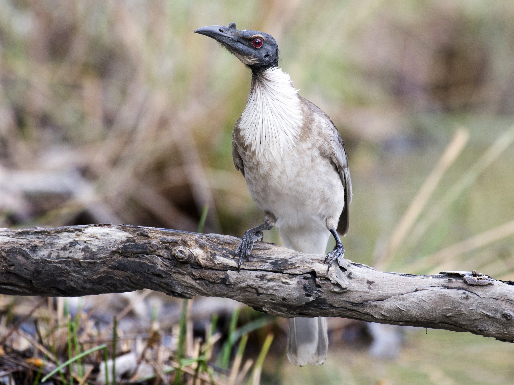 Noisy Friarbird - David King