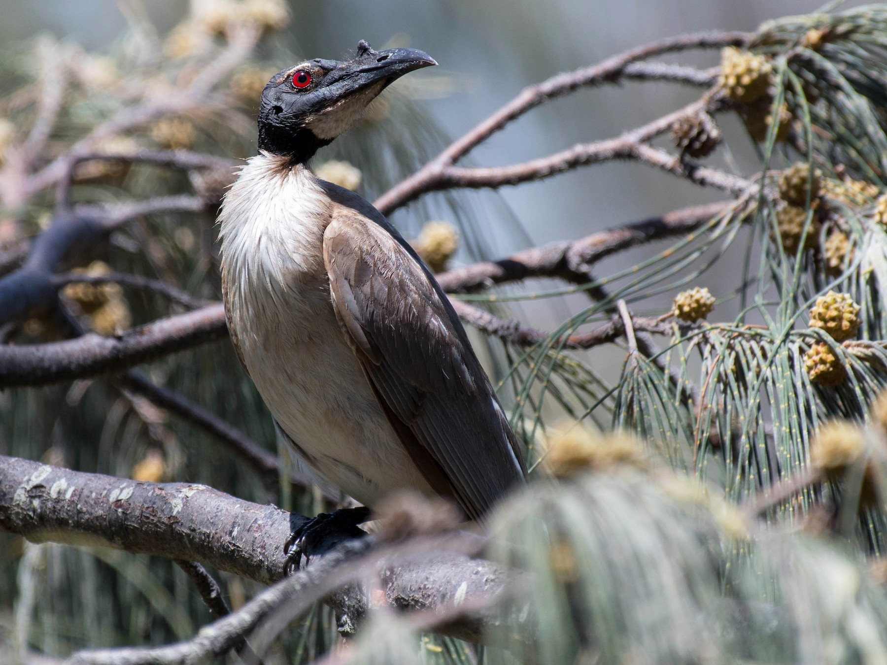 Noisy Friarbird - Terence Alexander