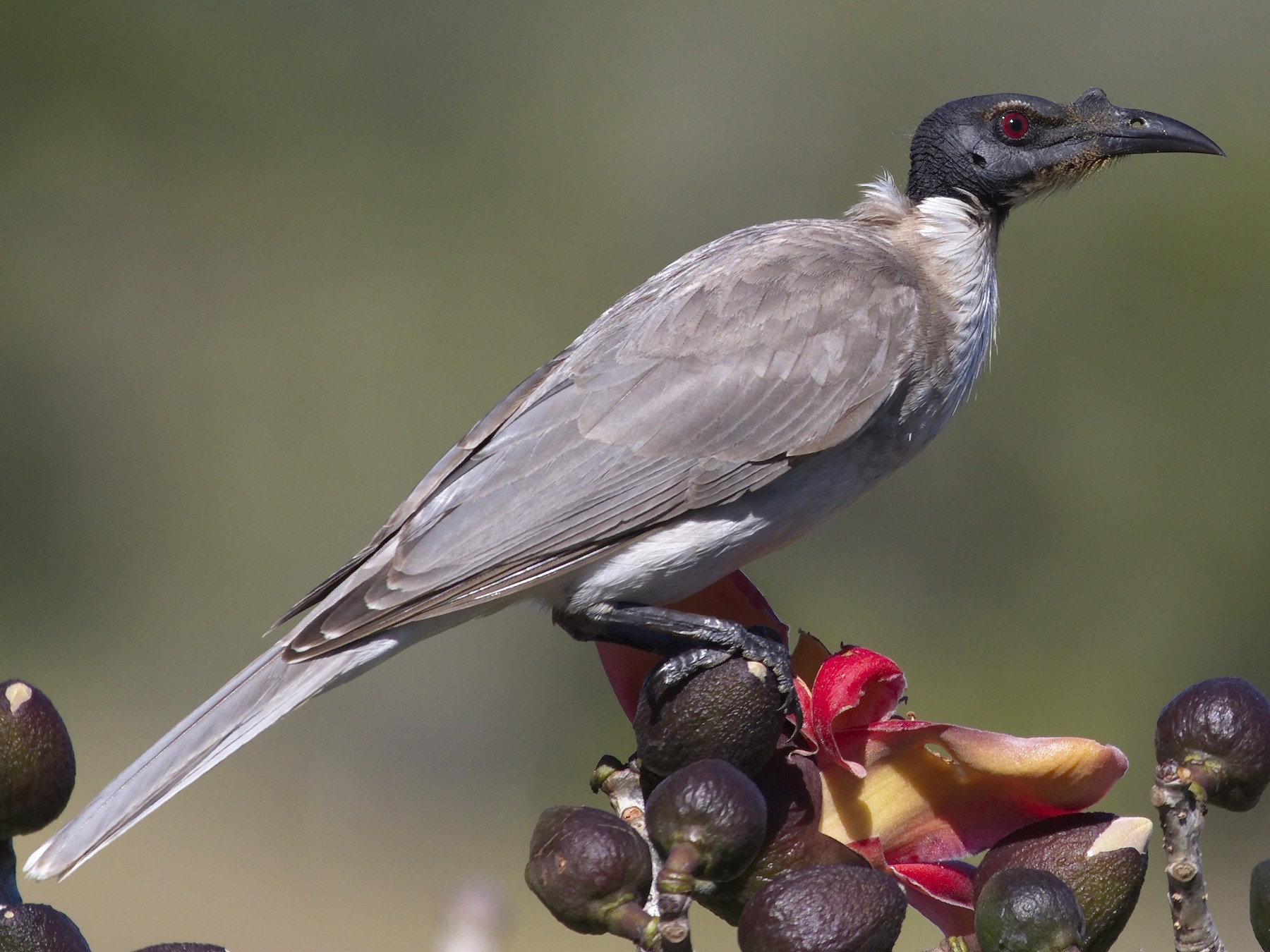 Noisy Friarbird - Ed Pierce