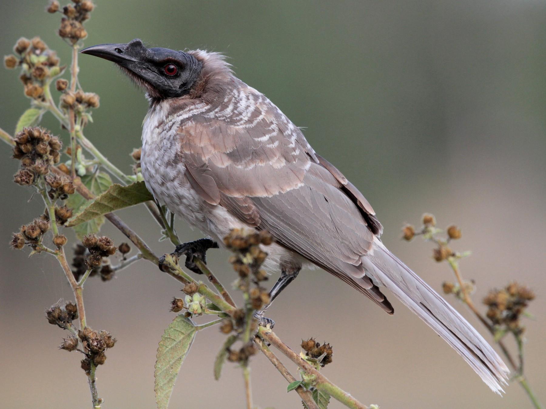 Noisy Friarbird - Corey Callaghan