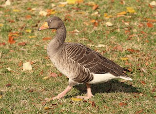 Graylag Goose, ML125464391