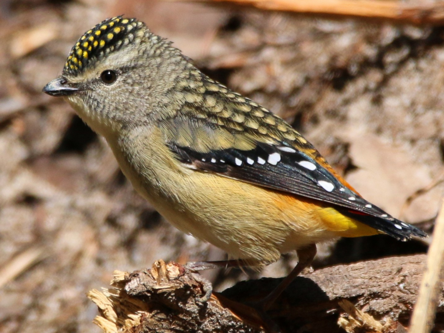 Spotted Pardalote - Thalia and Darren Broughton
