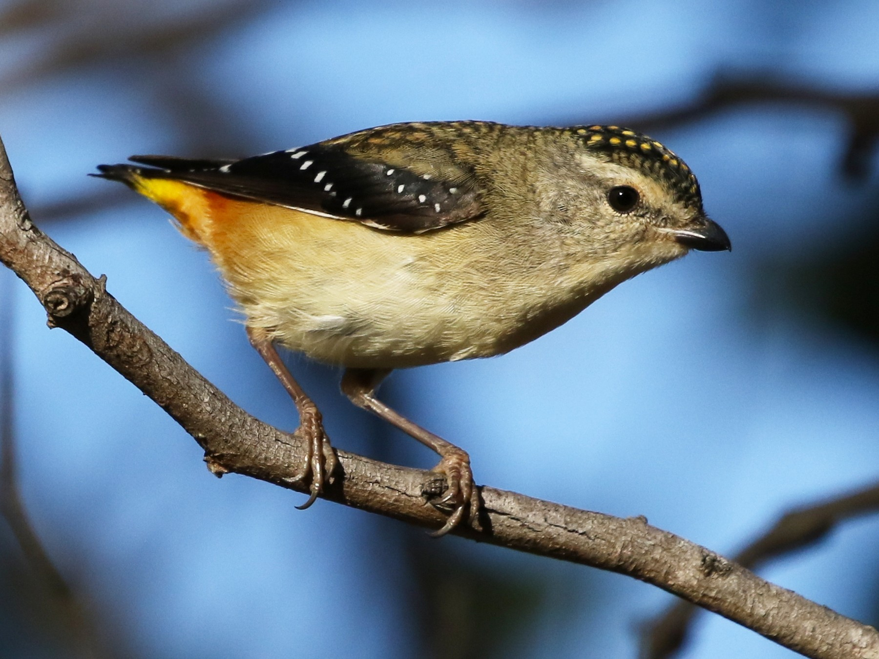 Spotted Pardalote - David Ongley