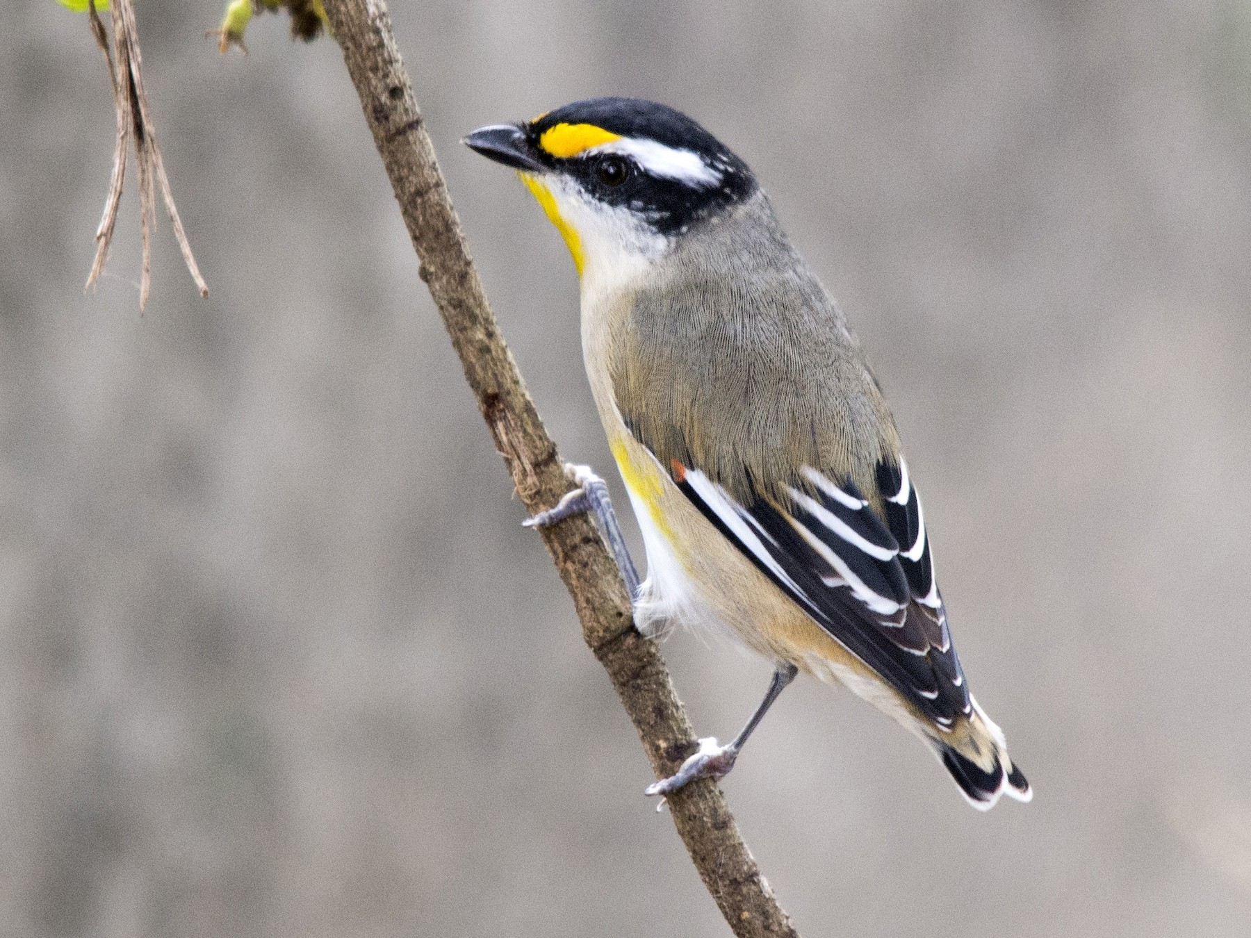 Striated Pardalote - David King