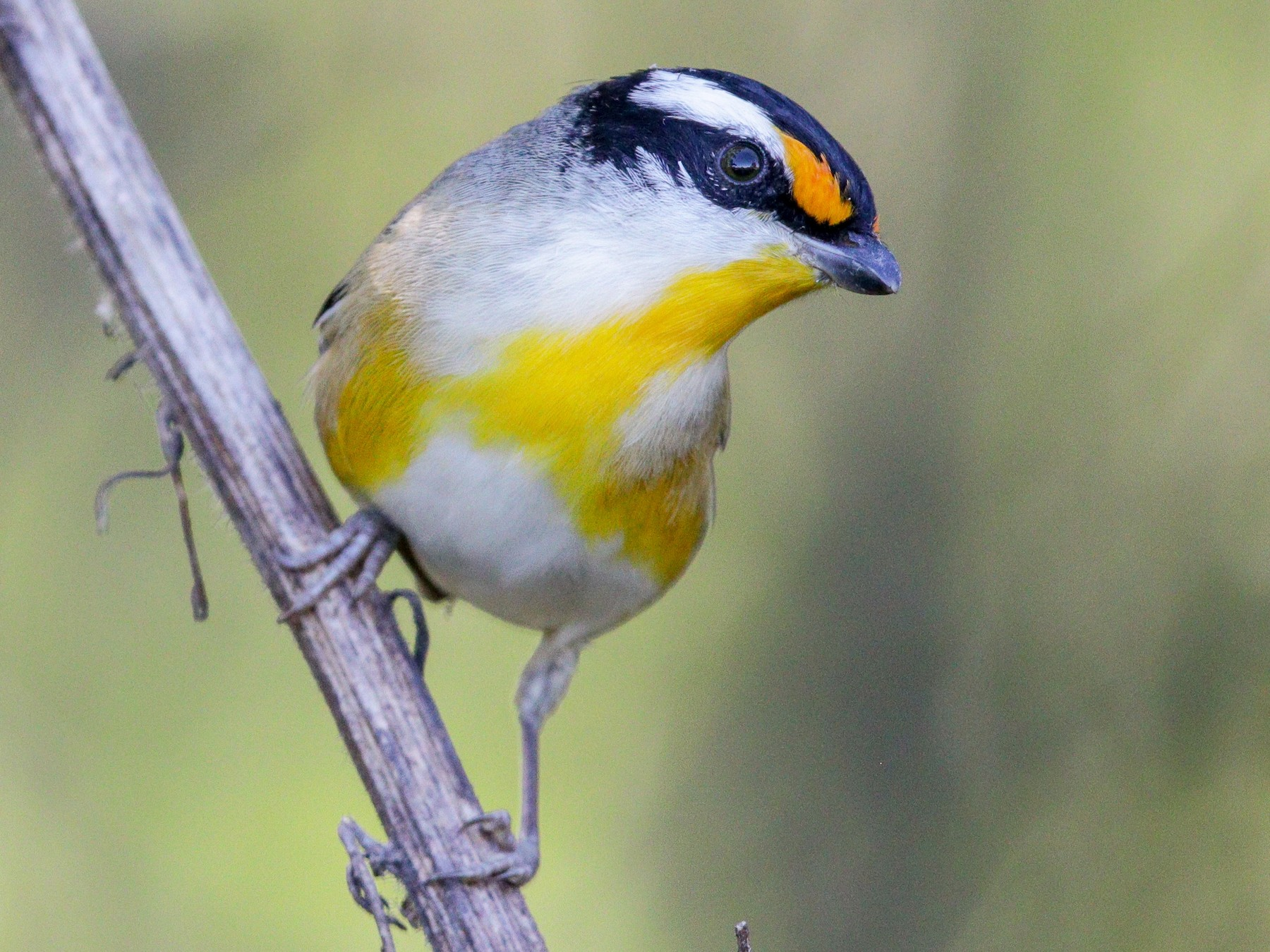 Striated Pardalote - Tommy Pedersen