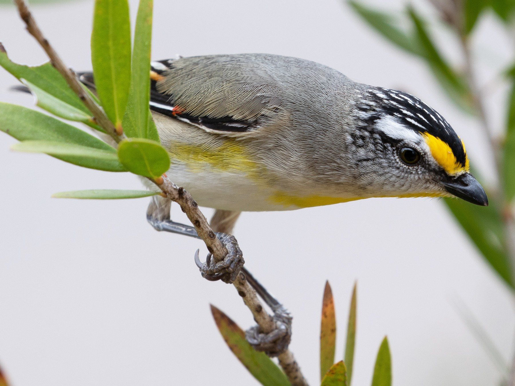 Striated Pardalote - shorty w