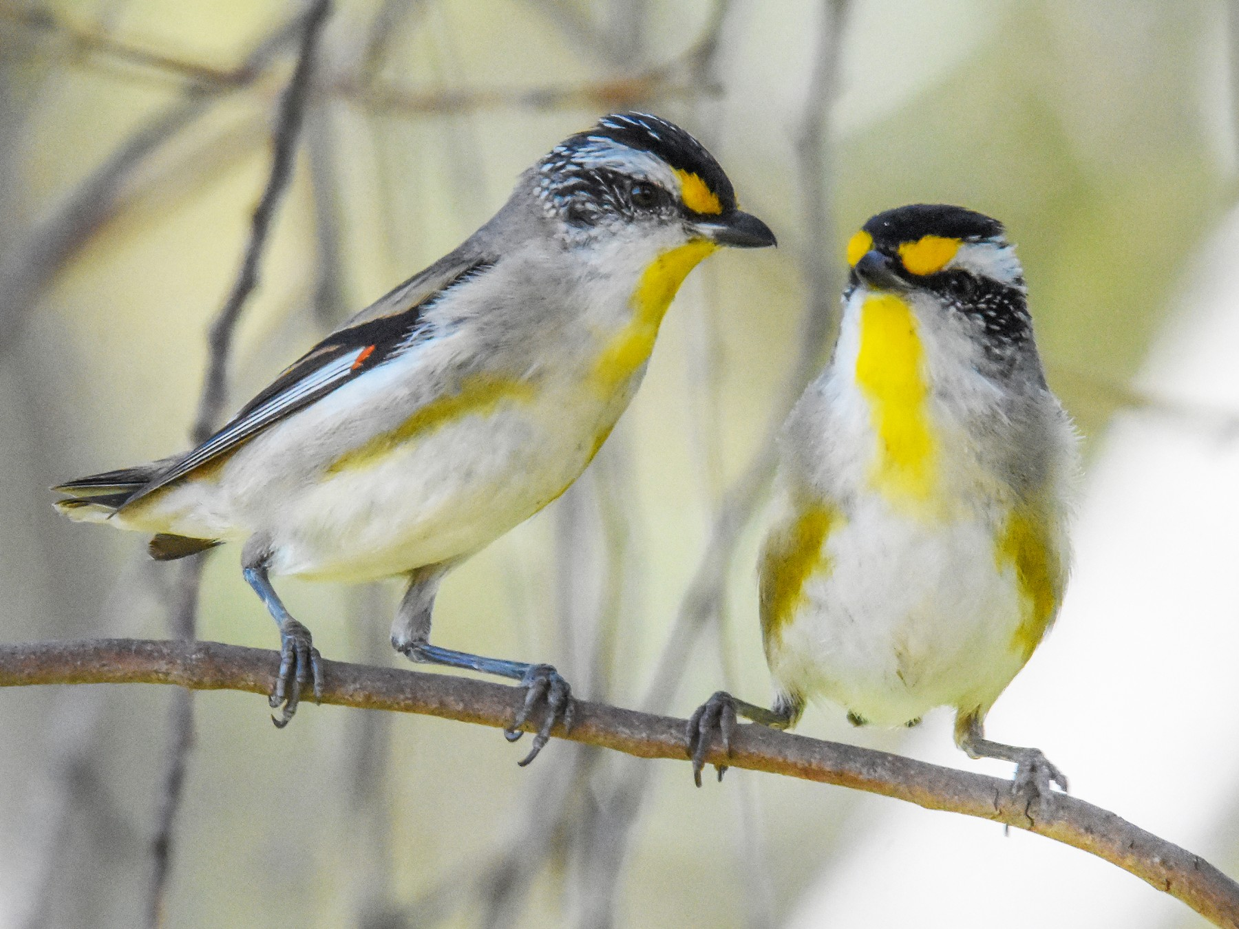 Striated Pardalote - Geoffrey Groom