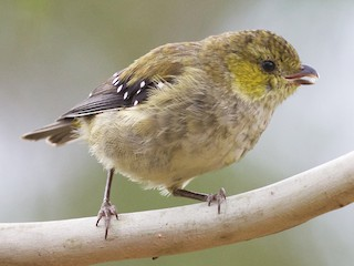 - Forty-spotted Pardalote