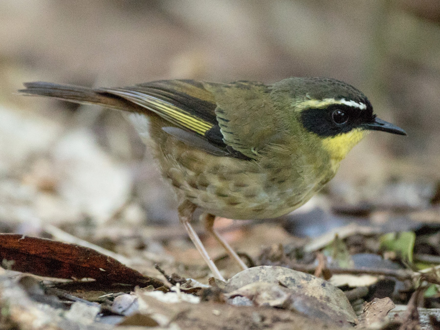 Yellow-throated Scrubwren - Ian Davies