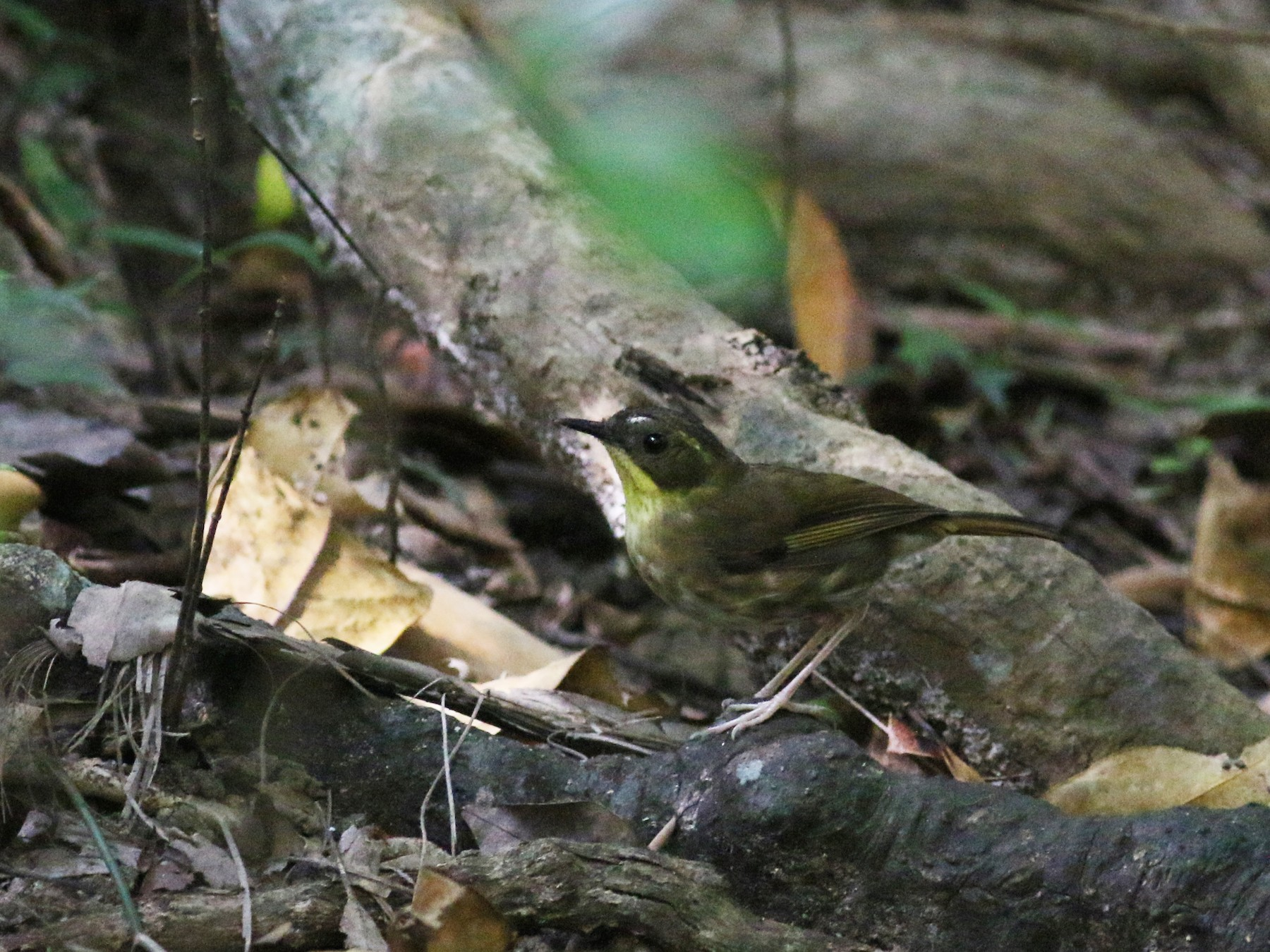 Yellow-throated Scrubwren - Oliver Burton