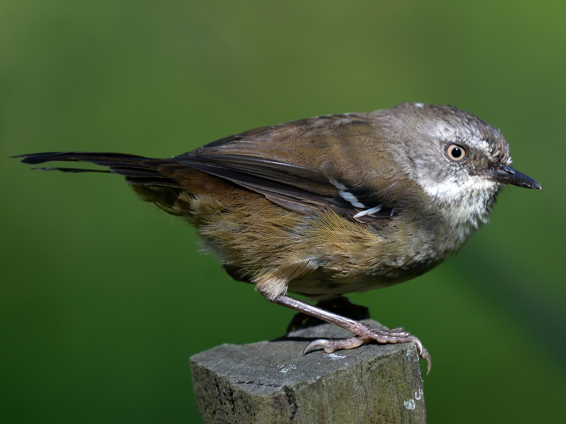 White-browed Scrubwren - Bruce Wedderburn