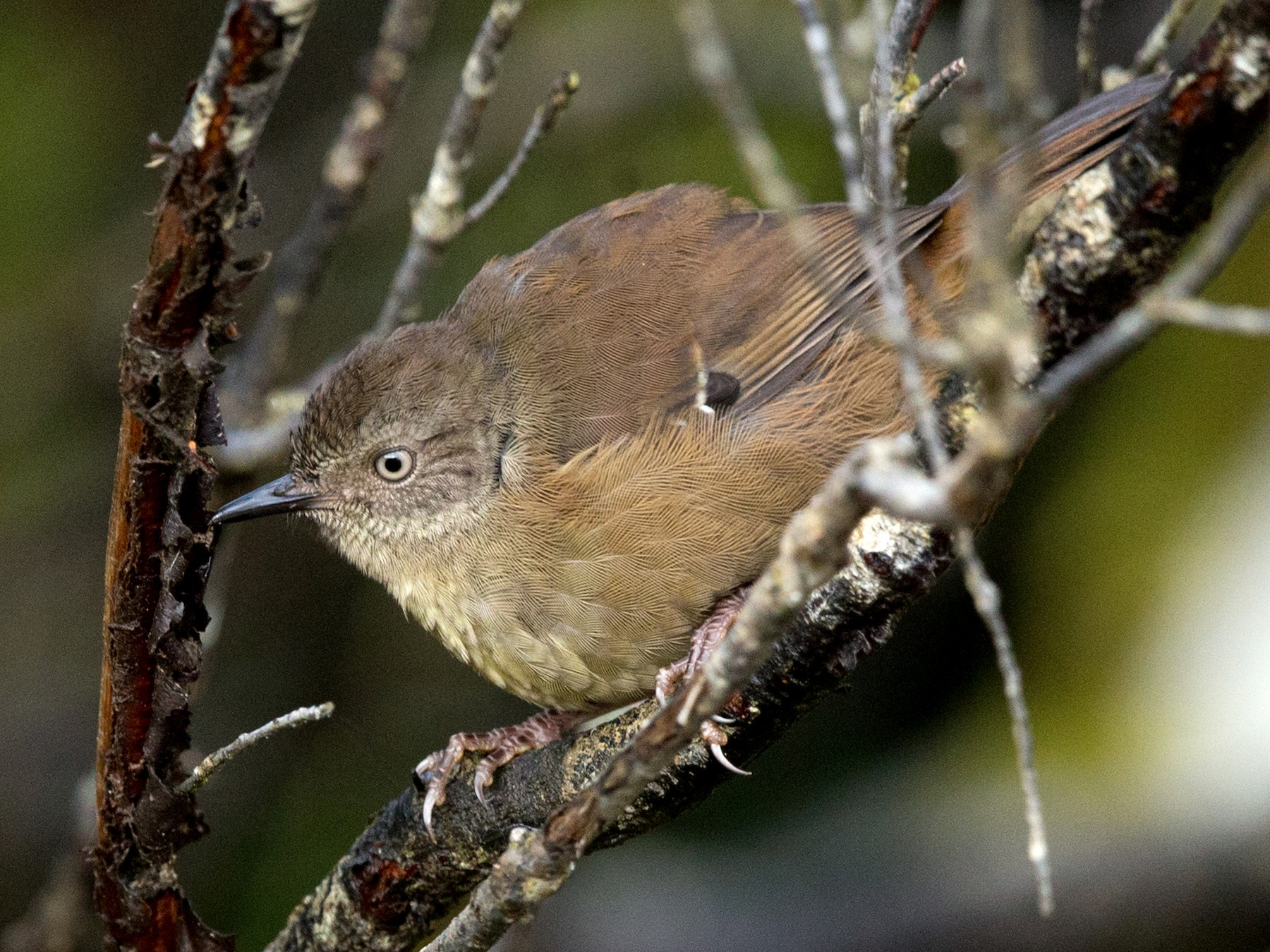 Tasmanian Scrubwren - David Irving