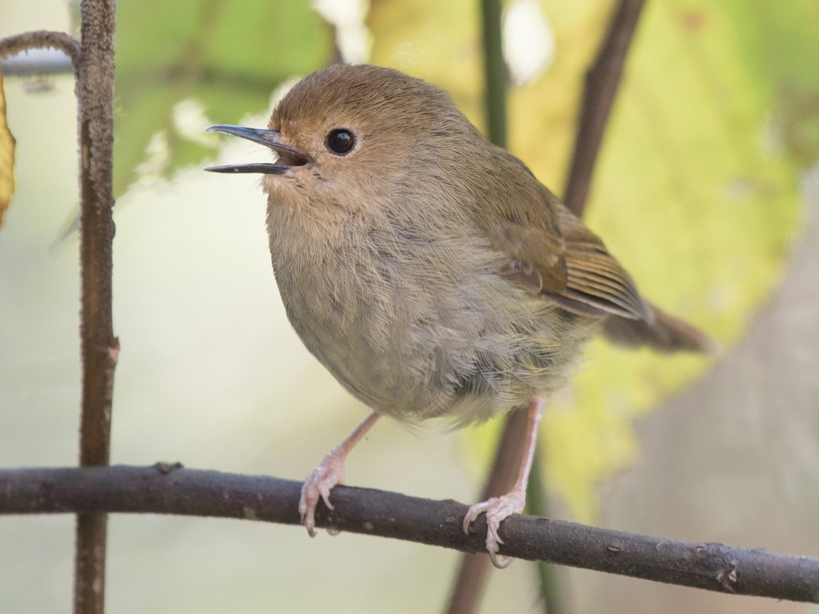 Large-billed Scrubwren - John Daniels