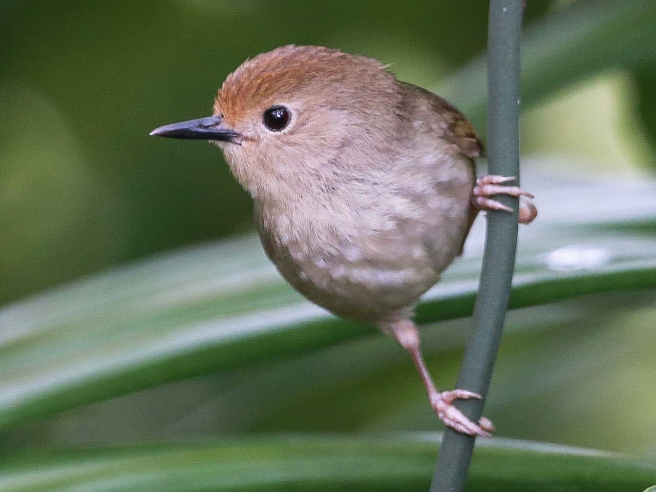 Large-billed Scrubwren - Adrian Boyle