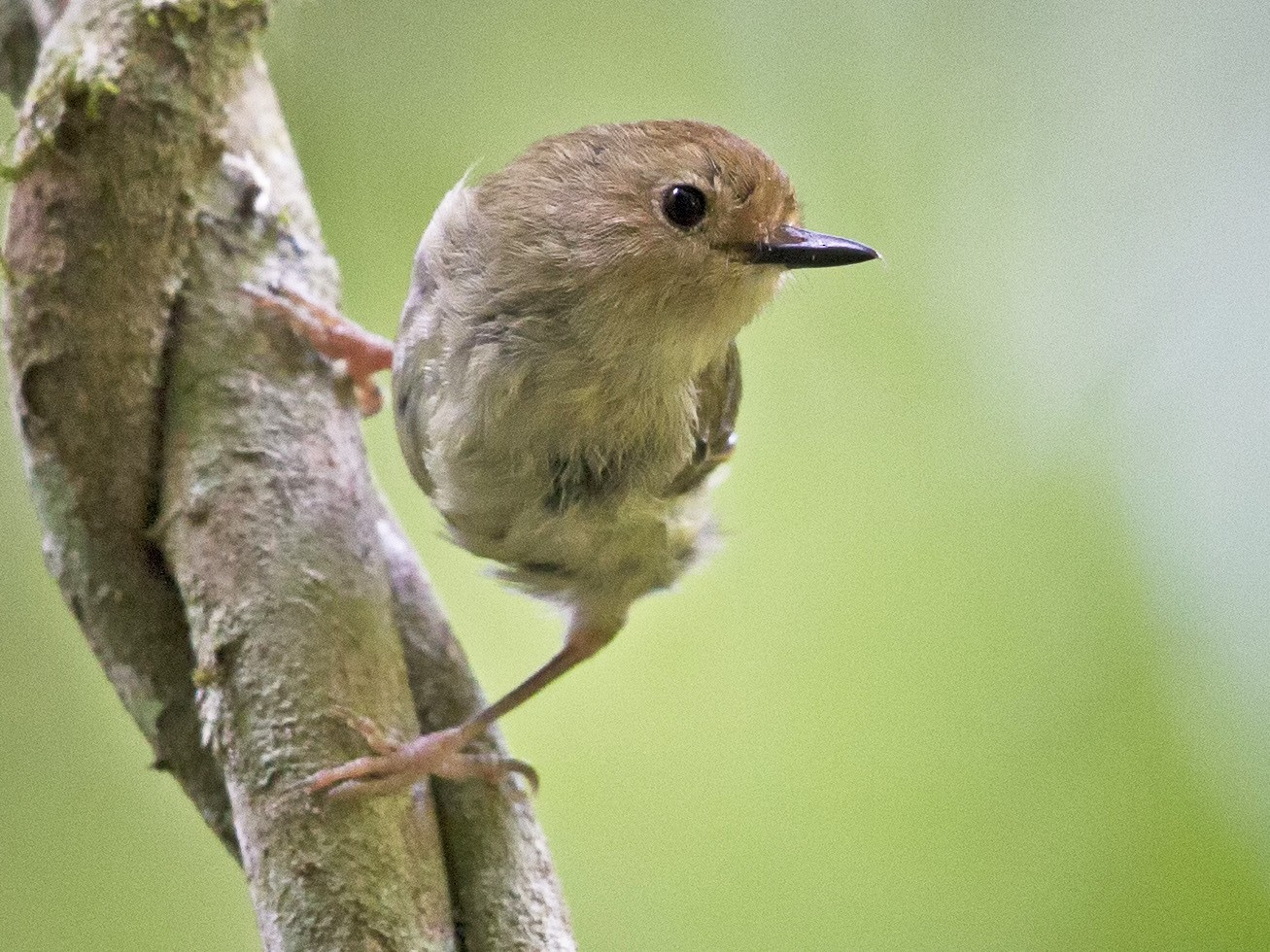 Large-billed Scrubwren - Mat Gilfedder