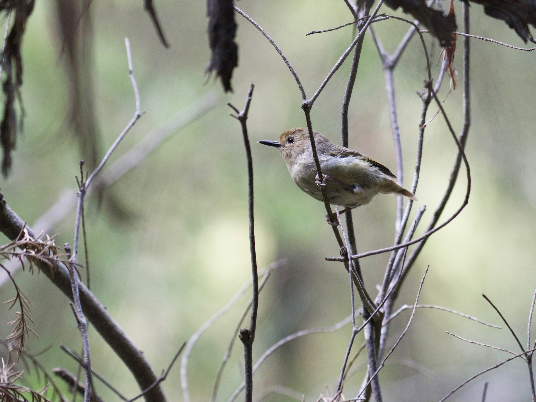 Large-billed Scrubwren - Ben Davis